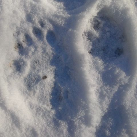 Bear Paw Dog Paw