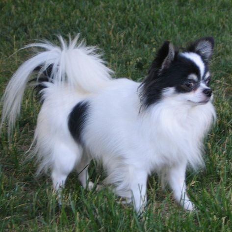 Long Haired Chihuahua Picture 5