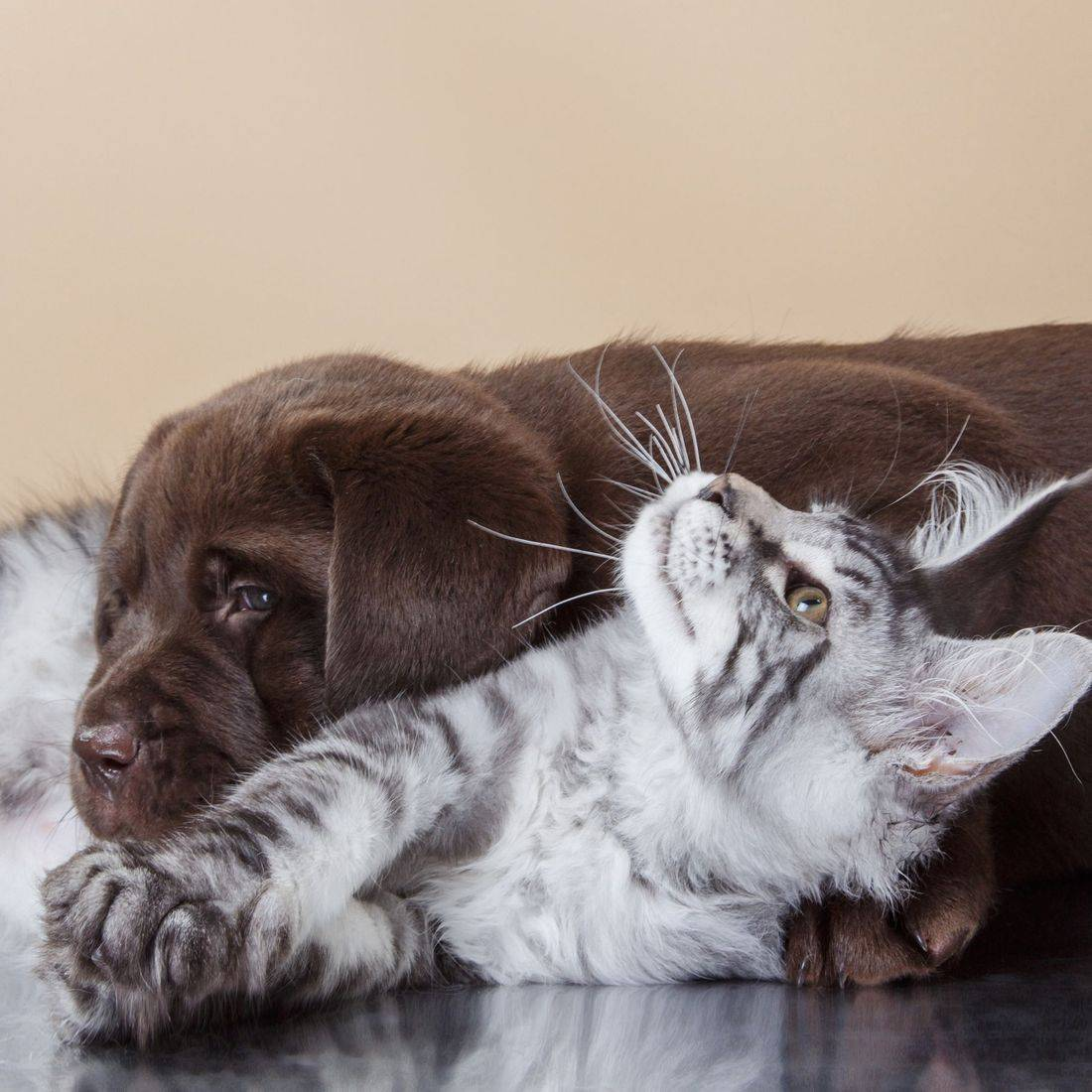 kitten and chocolate lab puppy