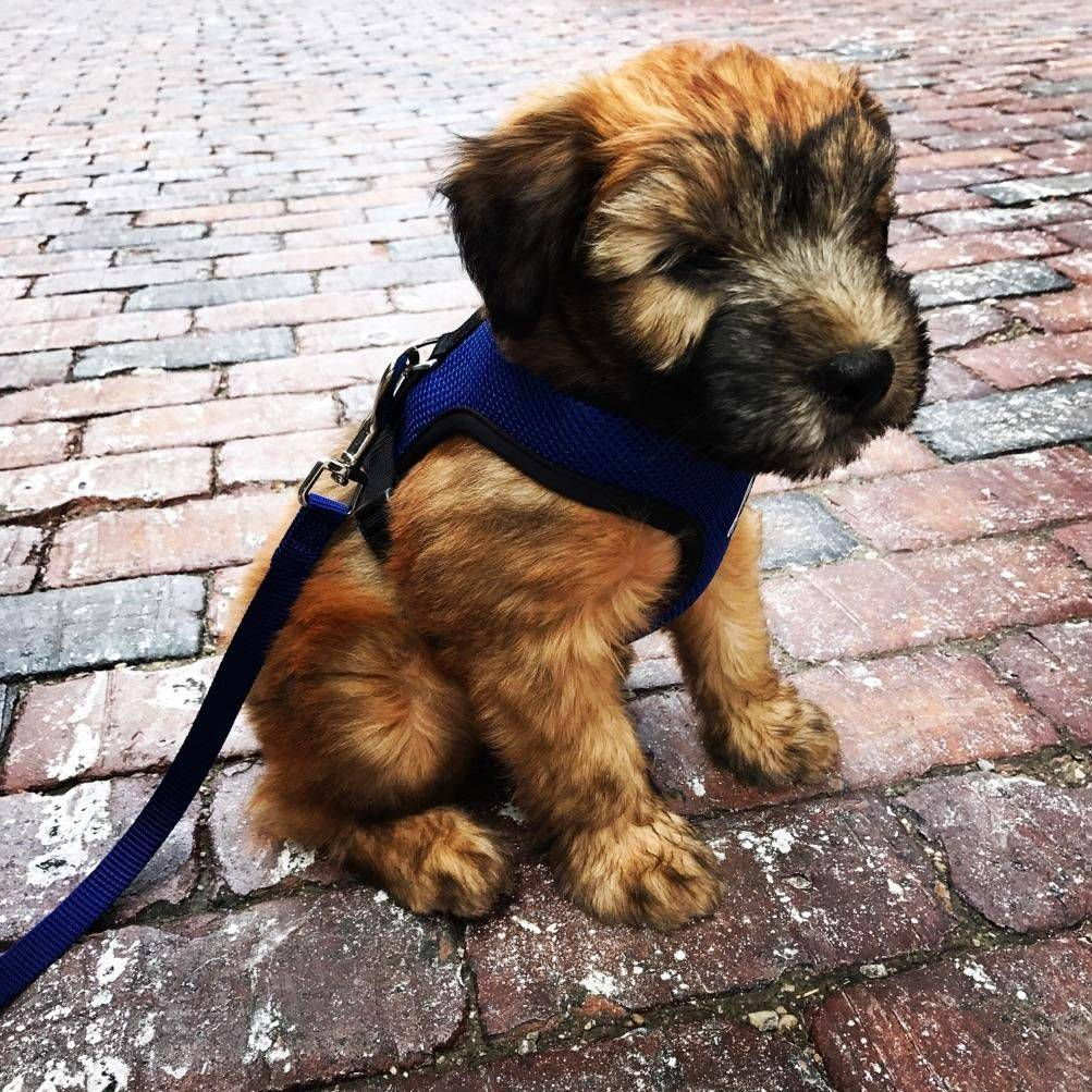 Finnegan's first walk on harness