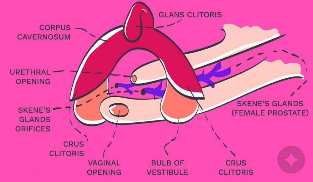 Drawing showing the female prostrate (Skene's glands) & flow of female ejaculation
