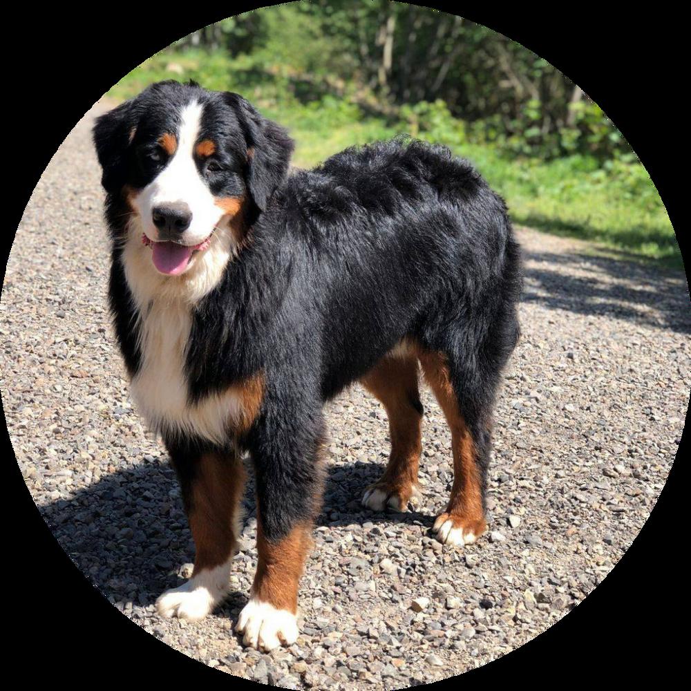 Adult Male Bernese Mountain Dog