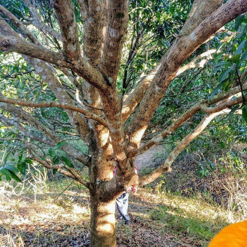 mango farm tour , mango tree, farm life in the philippines , mango farm for sale, british & far east traders & partners, mango farm for sale in talugtug nueva ecija philippines, mango farm for sale in sta.catalina talugtug nueva ecija philippines, philippine farm investments, philippine real estate investments, agricultural lands for sale in the philippines