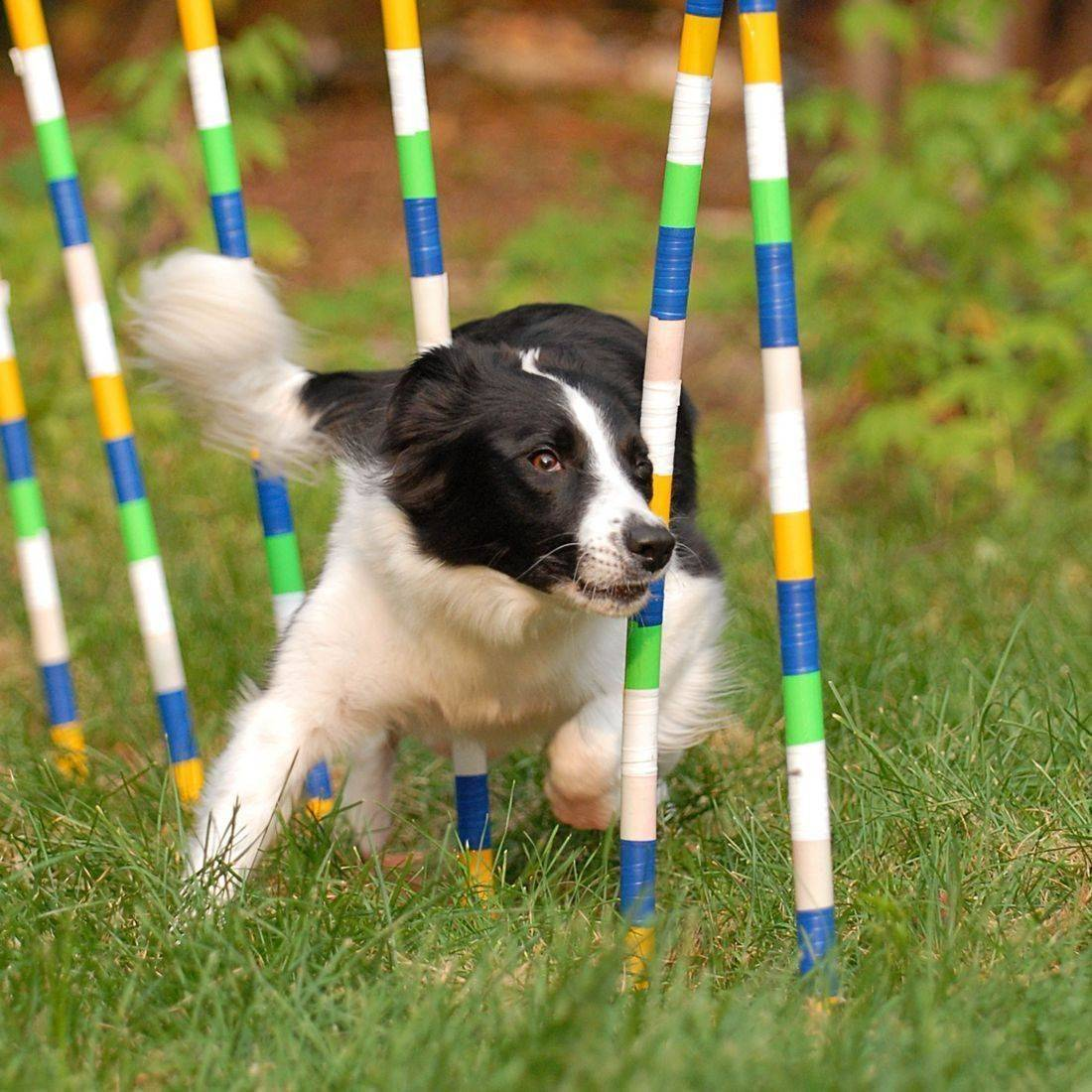 Chronos, border collie weaving, agility weaves.