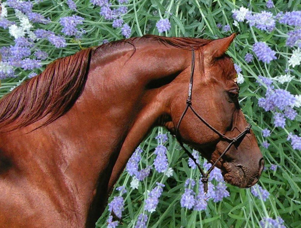 aromatherapy equine spray mist w/essentail oils