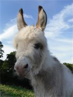 """DRF Shooter J DOB: May 24, 2013 20"""" at birth - jack (now a gelding) Light grey and white spot SOLD!! STAYING IN MISSOURI!!!"""
