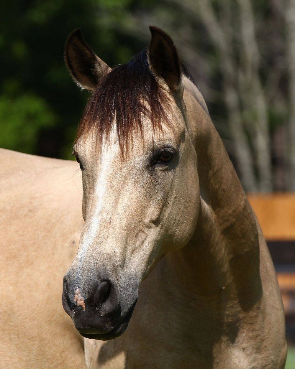 Marchador Horses For Sale