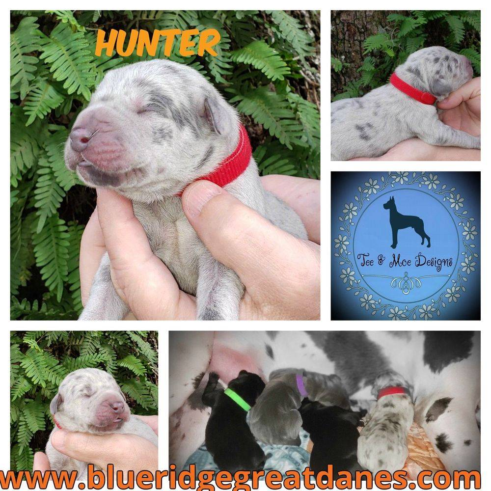 Great Dane puppy for sale, AKC registered, Christmas puppy