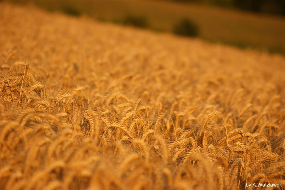 """reife Ernte, dieses Bild erinnert uns an die Worte Jesu:""""die Felder sind weiß zur Ernte"""""""
