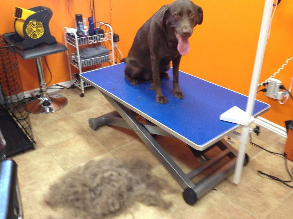 chocolate lab furminator