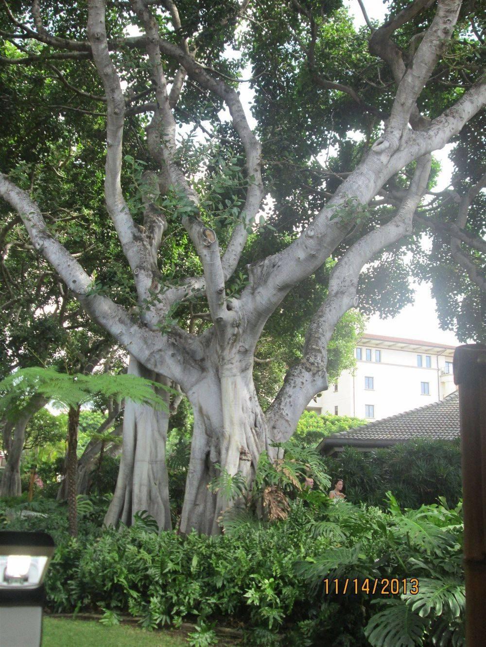 Banyon Tree, Maui, Hawaii