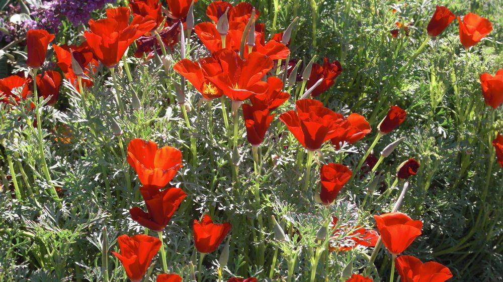 California Poppy, Eschscholzia californica 'Red Chief', iconic wildflowers, Drought tolerant