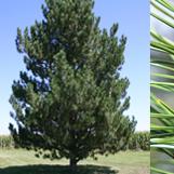 TREE DISEASE PINE