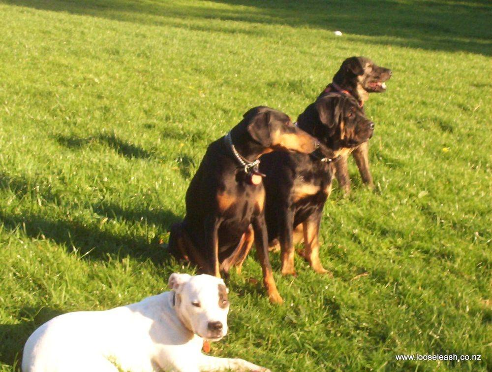 Pennys Dog Walking Spenmoor Street Reserve Dog Park / Dog Exercise Area four handsome, satisfied boys ( & a girl )