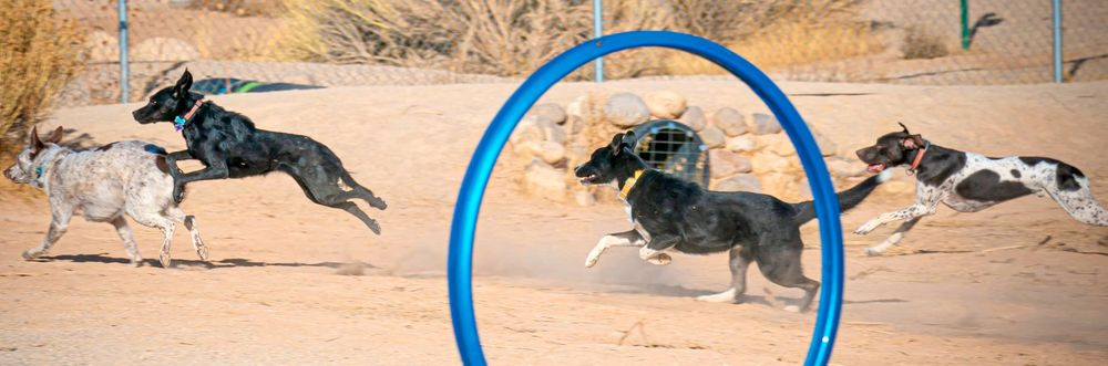 Four Dogs Running by Agility Equipment