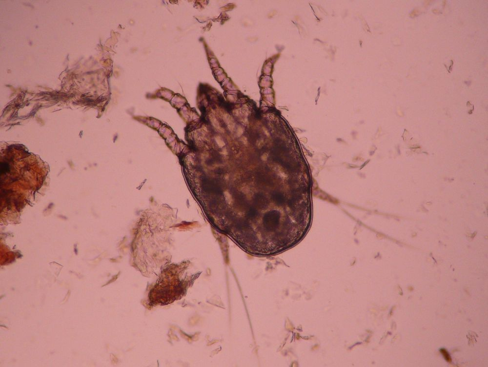 Ear Mites, dog ear mites, cat ear mites, animal ear mites, Otodectes cynotis