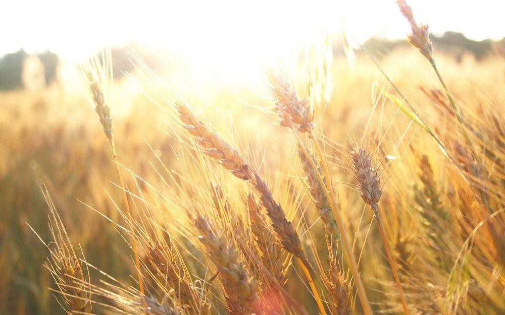 wheatfields, harvest, british & far east traders blog