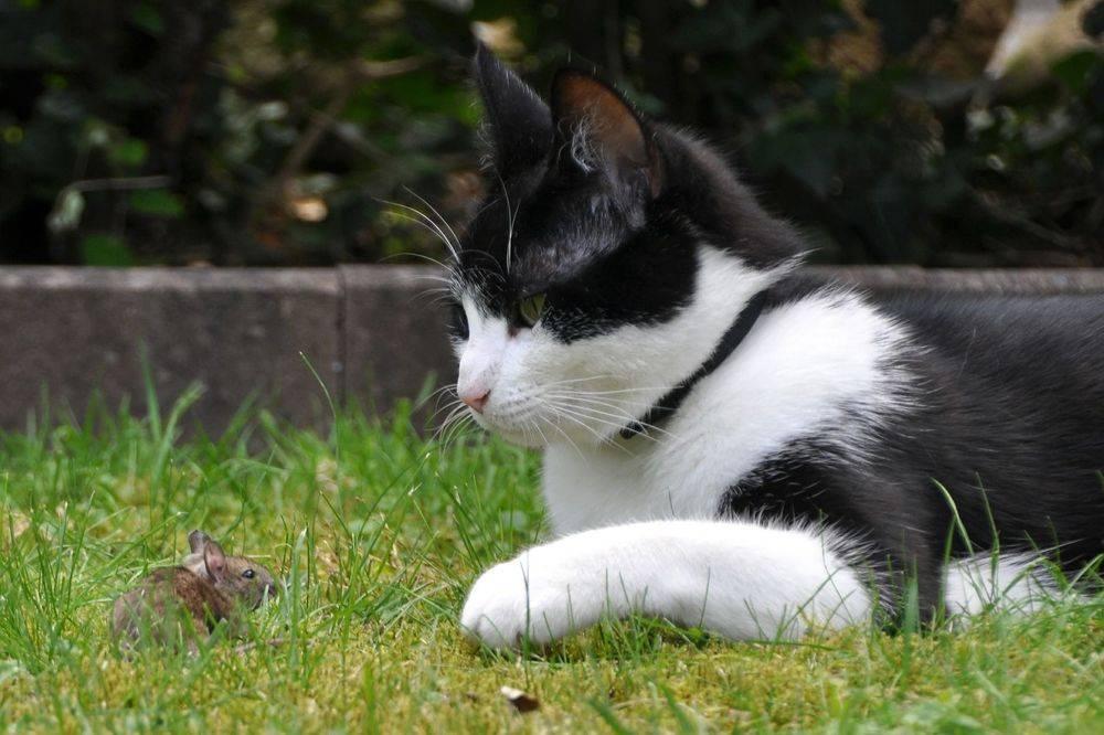 Katze schaut Maus an