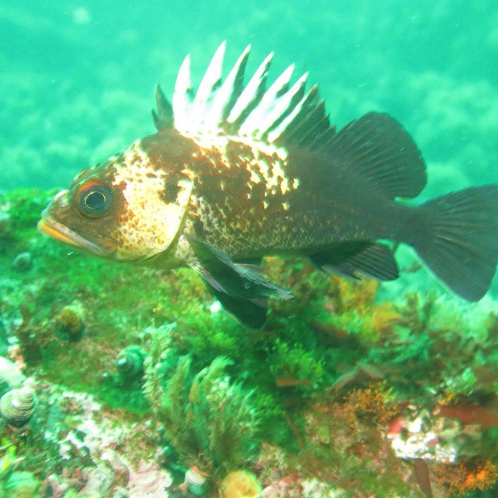 rockfish, vancouver island