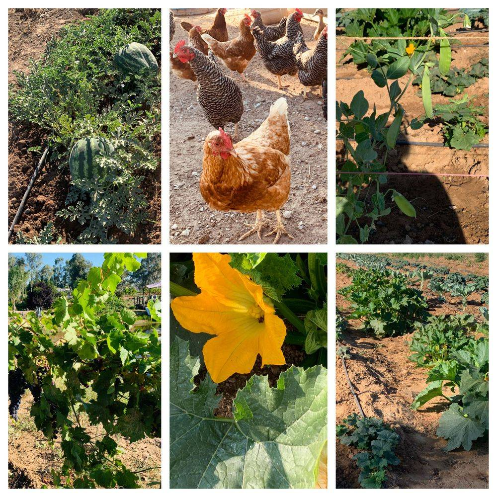 A collage of watermelon vines, chickens, snow peas, grapes and other budding produce.