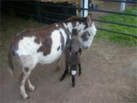 """DRF Chico Bandito DOB: April 27, 2014 21"""" at birth - Brown Jack (now a gelding)"""