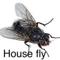 house fly treatment from beug pest managemeent