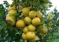 Frutto del Bergamotto biologco - azienda agricola francesco gangemi