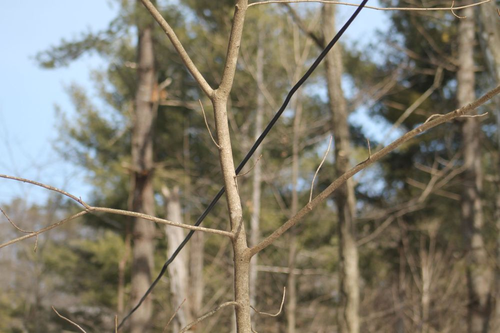 Apical Dominance, Enchanted Nature Tours, Tree growth