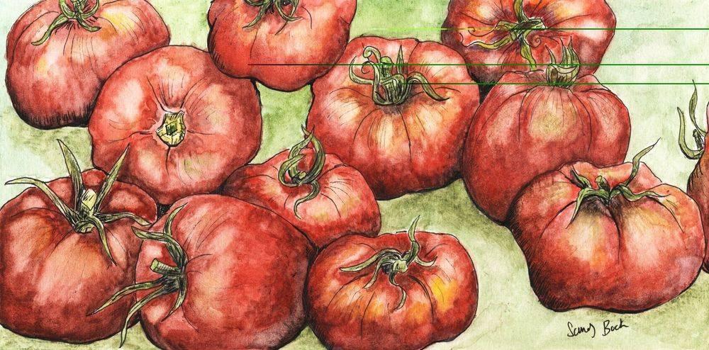 sandy bock, summer, tomatoes, garden, watercolor, illustration, tomato garden watercolor art