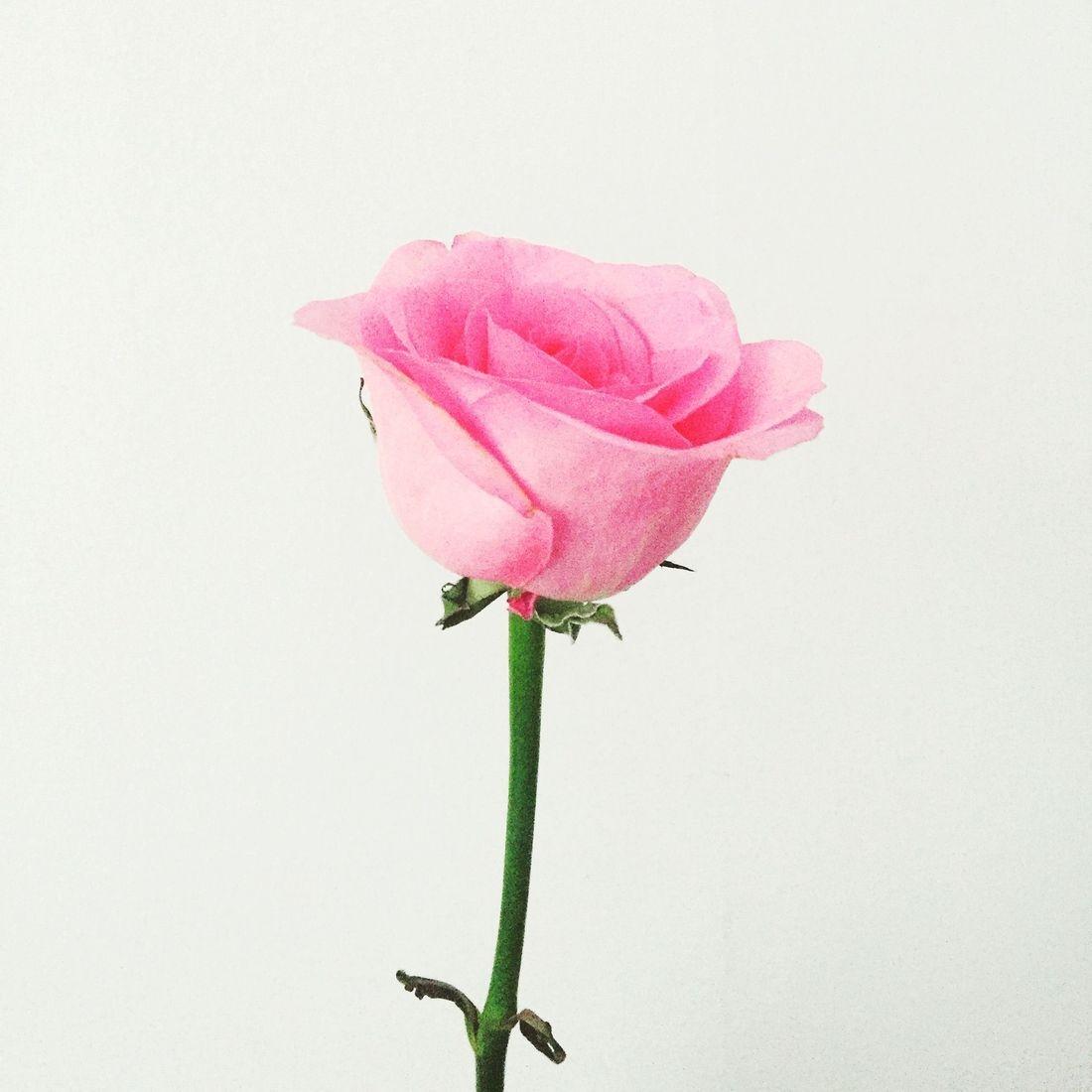 Rose Water Uses, Bulgarian Rose Water, RosePost Blog, Rose Skincare, Rose Beauty, Rose-infused beauty, RosePost Winter Box