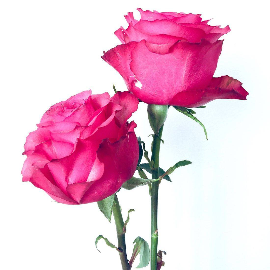 Rose Water, Rose Water Benefits, Rose Water Uses in Skincare, Rose Water Properties Uses Benefits
