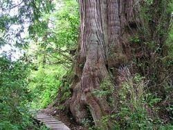 Big Tree Trail boardwalk on Meares Island near Tofino.