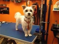 Groomed dog Nail trim,ears cleaned & plucked Petstyles Plus,Cetified Dog Groomer