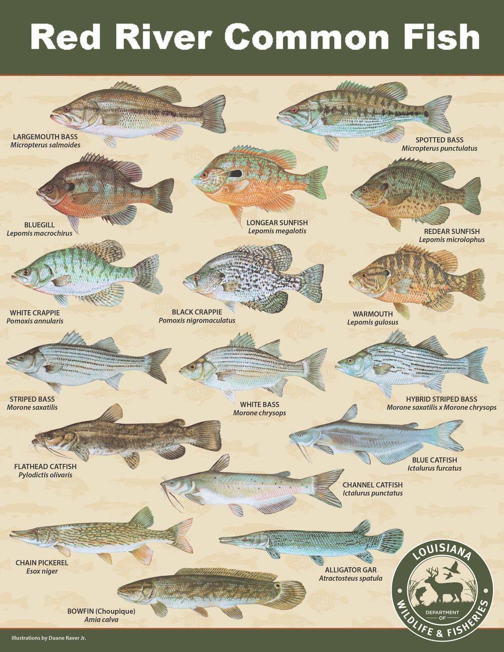 bass, bluegill, crappie, catfish, gar, sunfish