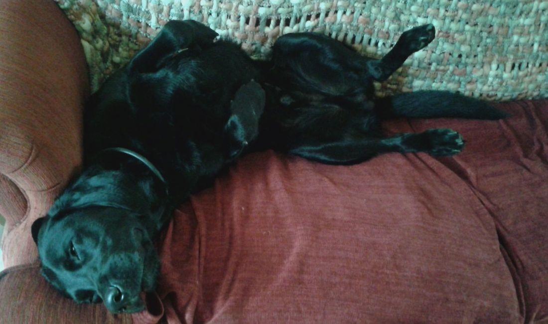 Black labrador sleeping upside down on sofa