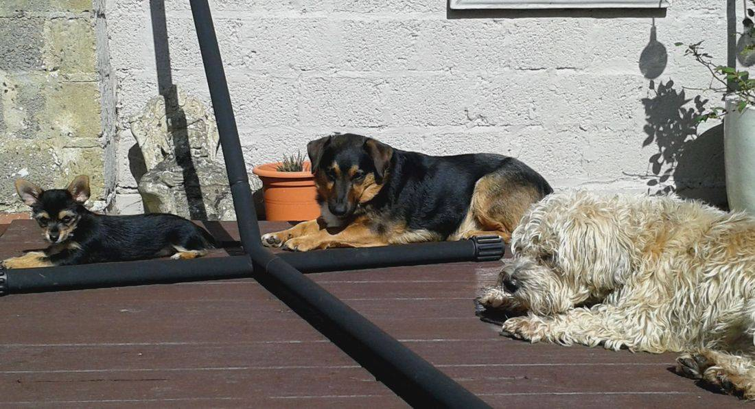 Dogs sunbathing on decking