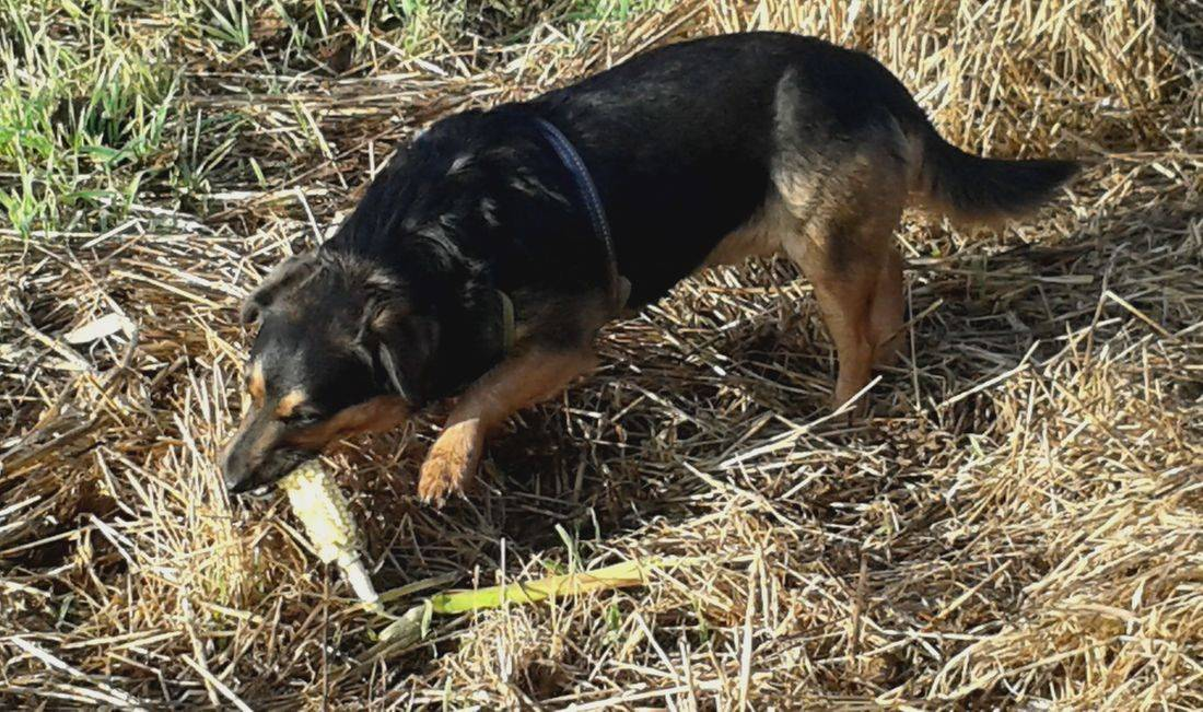 Jack Russell eating maize husk in a field