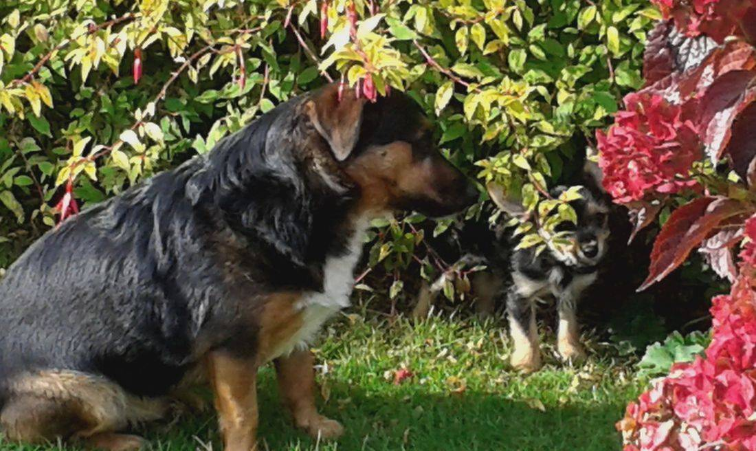 Jack Russell and cute puppy playing hide and seek in the garden