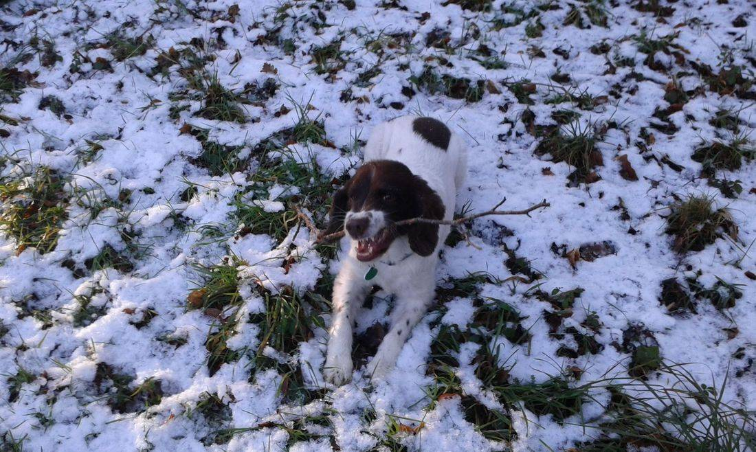 Springer spaniel with his stick in the snow