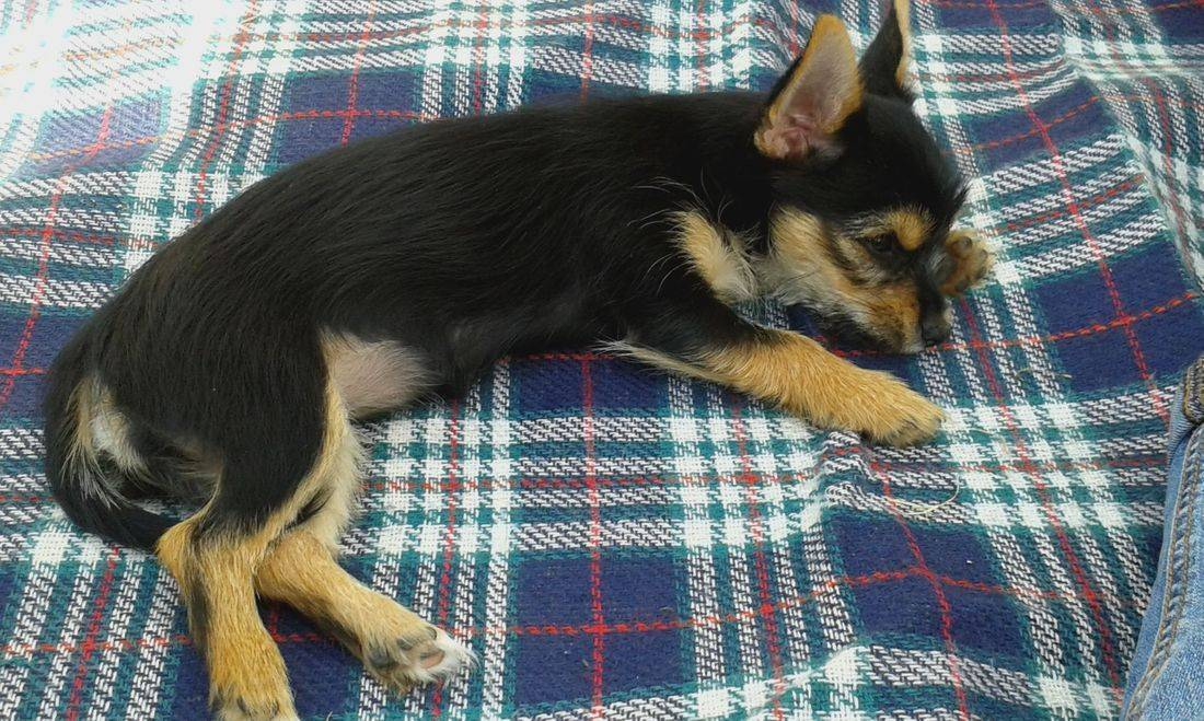 Cute puppy sleeping on the picnic blanket