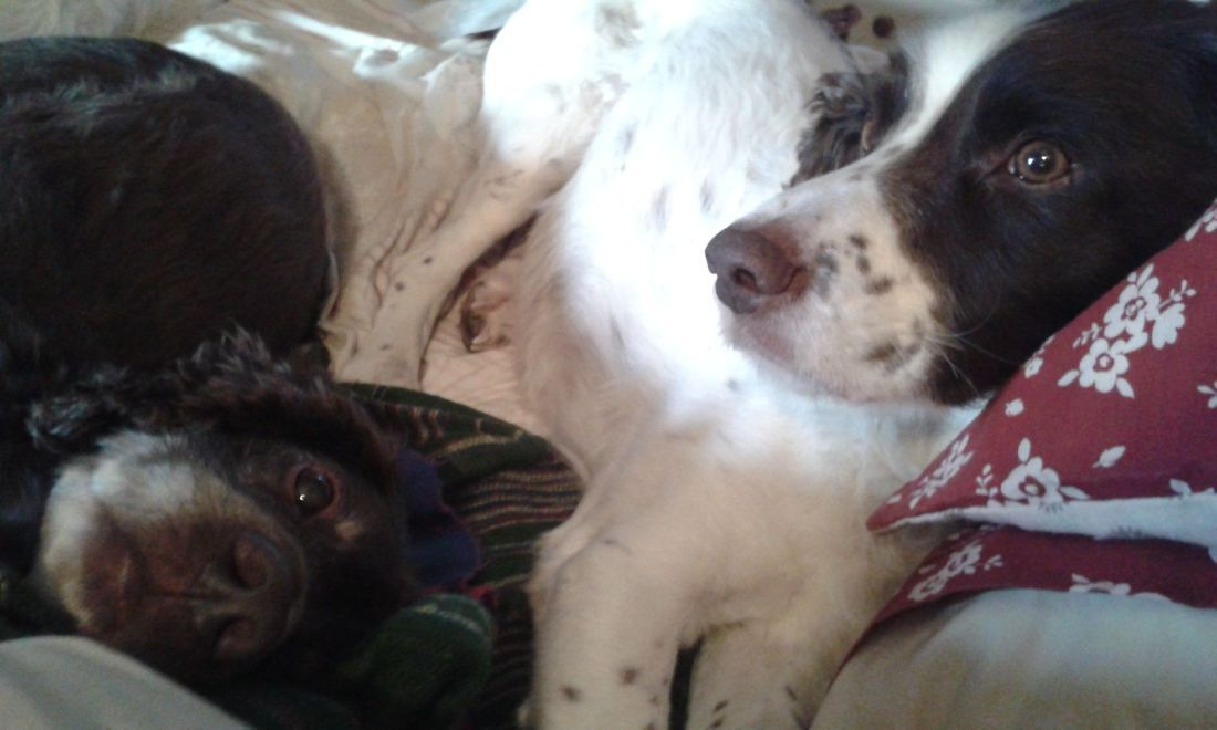 Sleepy cocker and springer spaniels on the bed