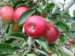 æbler, anlægsgartner