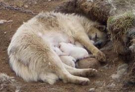 grönlandhundmutter mit jungen an kette