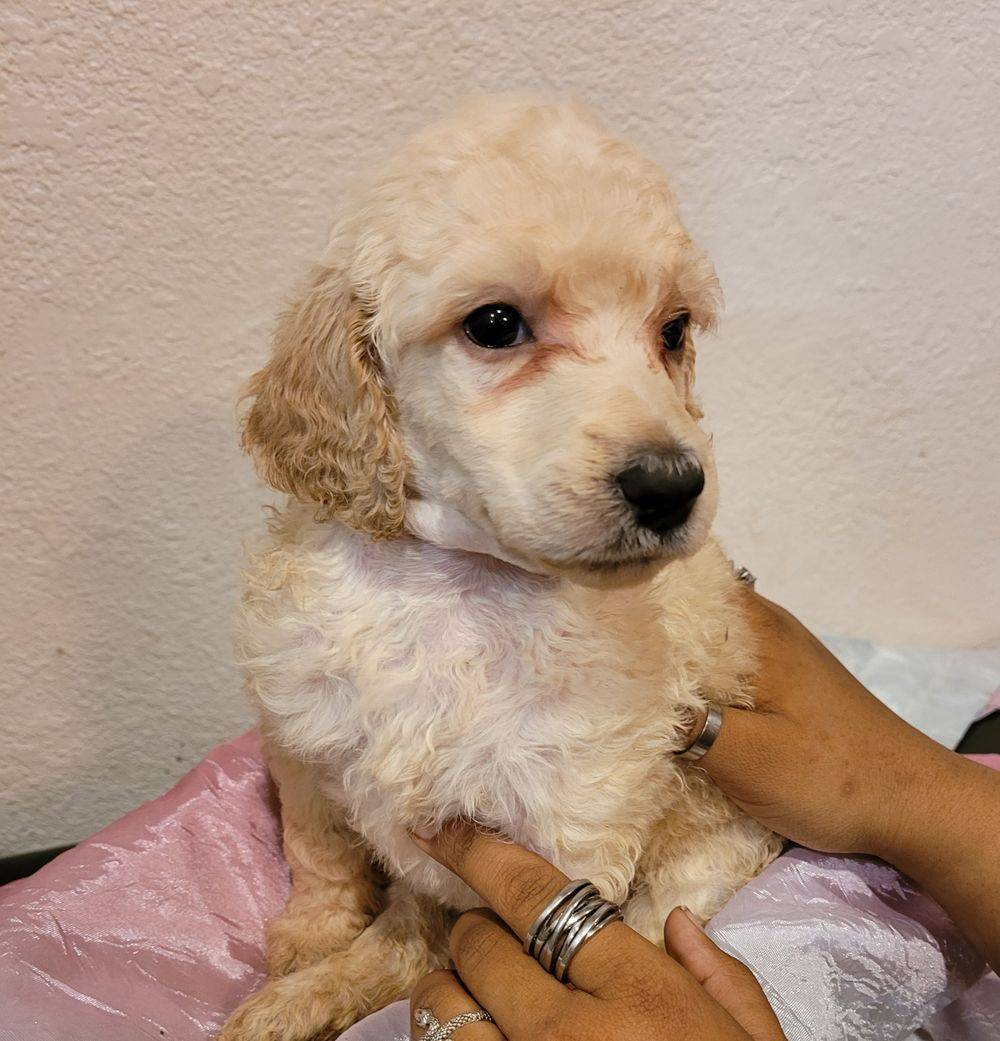 Phantom brindle standard poodle puppy for sale in Wisconsin