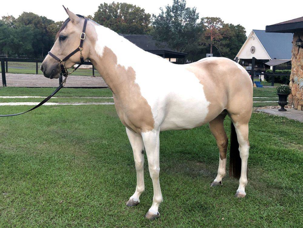 Tanna is a registered American Paint Horse, not a Marchador