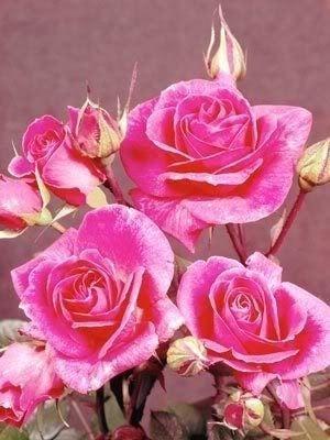 pink rose22