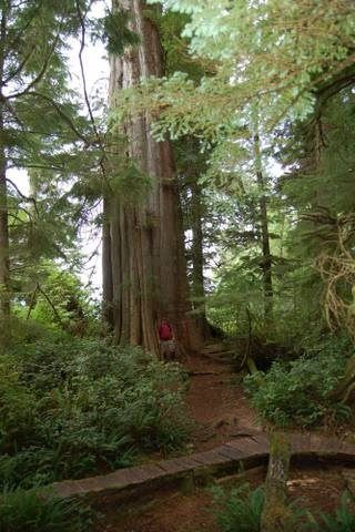 A tower of giant Red Cedar, but still not the biggest on the trail.