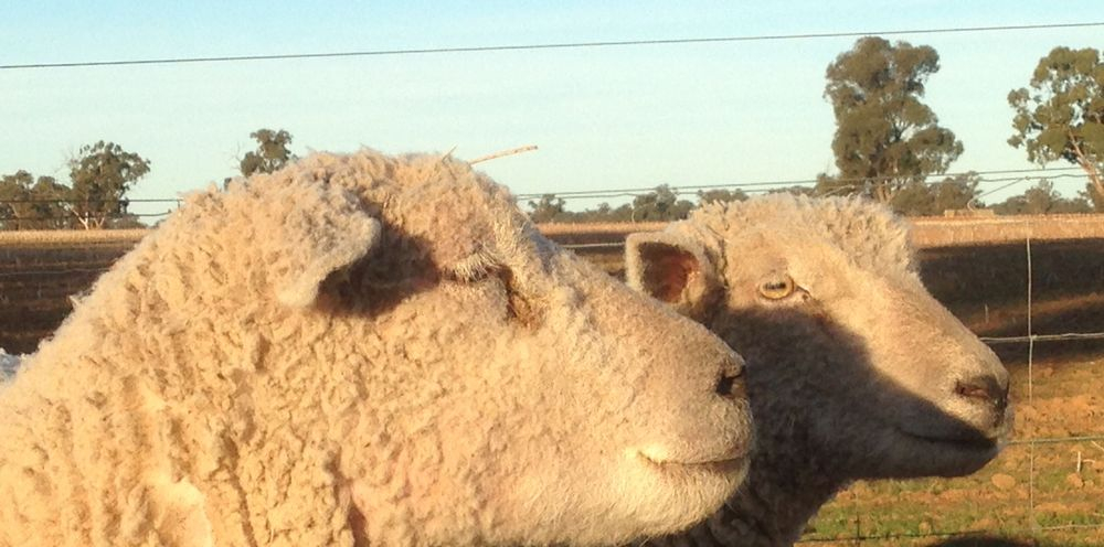 Two lovely Babydoll Southdown ewes