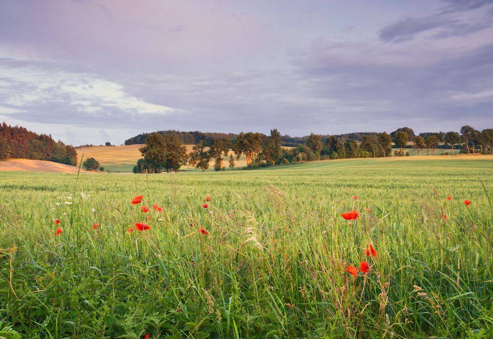 Wild flower field suitable for a scattering of ashes or memorial service