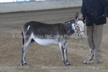 """Double N Deje Vu 2015 ACOSA RESERVE NATIONAL CHAMPION JENNET DOB: November 21, 1999 33.5"""" dark brown and white spot Sire: Double N Ditto - brown & white spotted (Gardner's William Tell x Gardner's Cheverie) Dam: Double N Tiffany - black (Double N Junior x Triple C Rosenda)"""